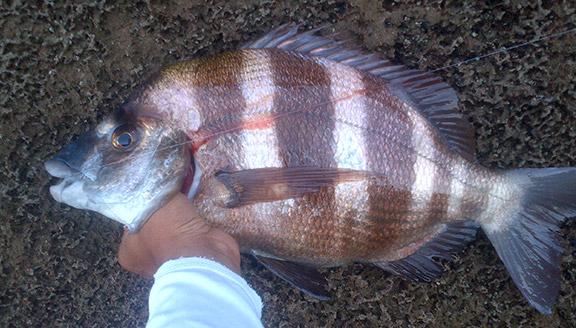 Blog de lesroyalesdu83  pêche de la Dorade Royale dans le 83  Skyrock